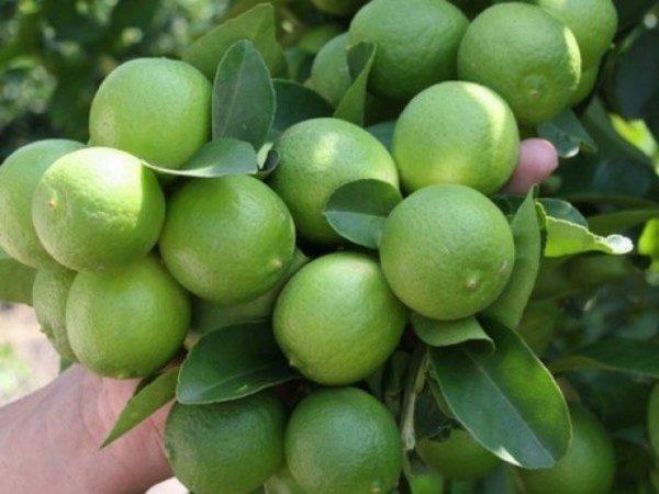 Se dispara precio del limón, podría costar hasta mil pesos la tara