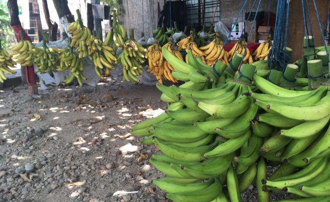 Frente frio posterga producción de plátano macho y afecta a productores