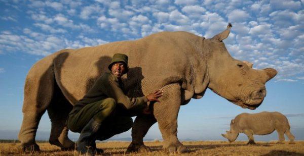 Murió Sudán, el último macho de rinoceronte blanco del mundo