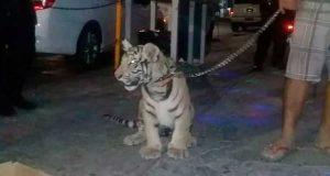 Exhiben tigre de bengala como mascota en Salina Cruz