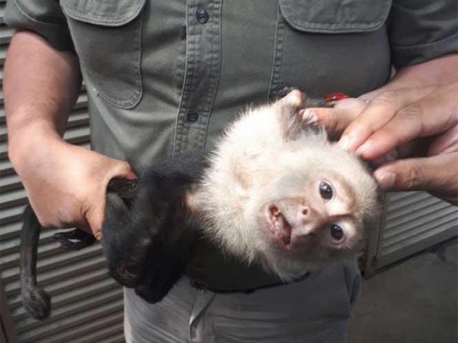 Atrapan al Mono Capuchino fugitivo