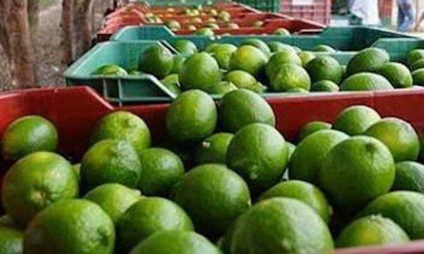 Sin afectar a productores desplome del precio del limón
