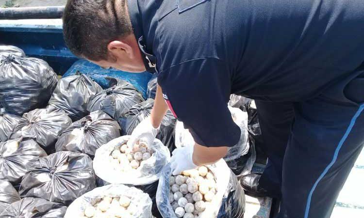 Decomisó Policía Federal más de 22 mil huevos de tortuga en el Istmo