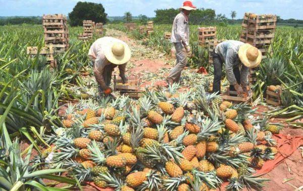Buscan reactivar procesadora de piña en Loma Bonita