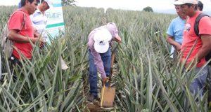 Falta de organización y de planeación, factores del desplome del precio de la piña: SAGARPA