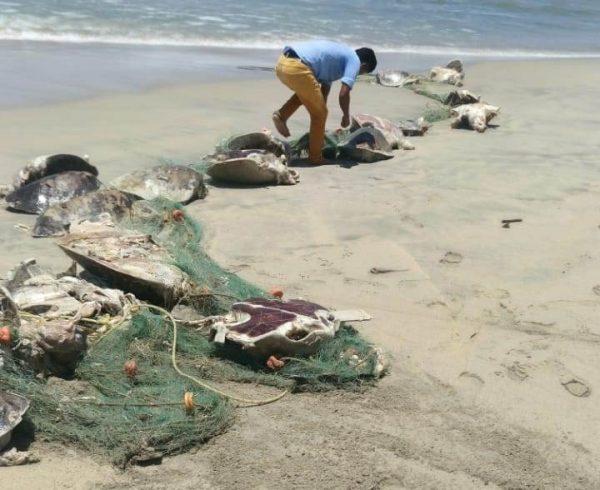 Coadyuva Semaedeso en investigación de tortugas atrapadas frente a playas de Colotepec