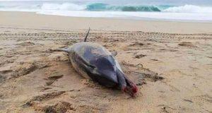 Encuentran delfín muerto en playa de Oaxaca