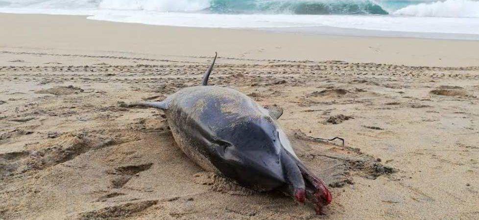Hallan delfín asfixiado por un pañal en playas de Puerto Escondido
