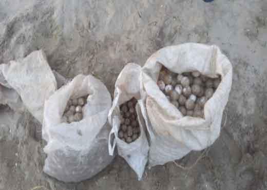 Recuperan 2,200 huevos de tortuga en Playa Escobilla
