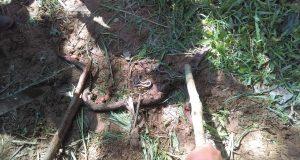 Fotos: Pobladores se lanzan a la caza de víboras en Valle Nacional y encuentran algo inesperado