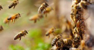 Temor ante panales de abejas incrementan llamados a Bomberos en Tuxtepec