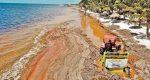Científicos hallan en sargazo arsénico y metales pesados