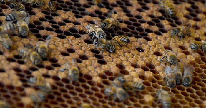 Disminuye un 50% la cantidad de abejas en la región en los últimos 5 años