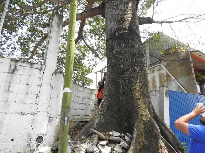 Buscan que 9 árboles emblemáticos del municipio, estén protegidos ante la SEDAEDESO