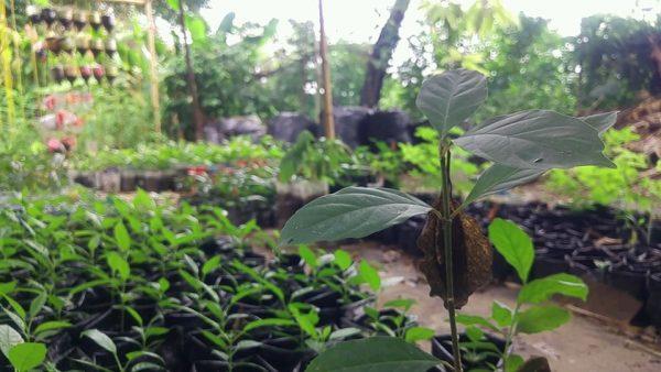 Pantera AC., lanza convocatoria para adoptar árboles nativos