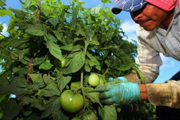 """A través de """"movilidad interna"""", 45 jornaleros de la Cuenca se van al corte de tomate"""