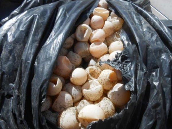 Asegura Profepa 24 mil huevos de tortuga marina en Oaxaca
