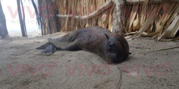 Localizan Lobo Marino en playas de Tututepec