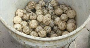 Aseguran 6 mil huevos de tortugas marinas en Oaxaca