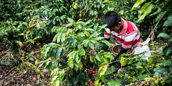 Todos Sembramos Café se amplía a Oaxaca