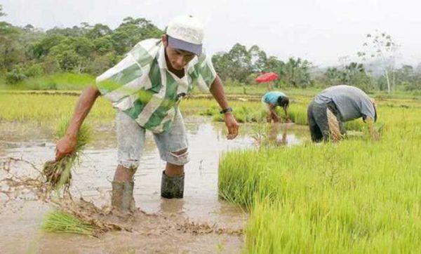 Buscan reactivar cultivo de arroz en Tuxtepec