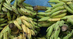 Sequía, vientos y plagas tumba hasta el 80% de la producción de plátano macho