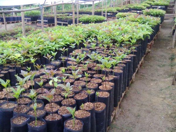 Este año, buscan que en vivero se siembren unas 250 mil plantas
