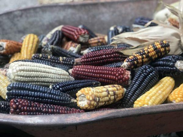 Las variedades de maíz oaxaqueño y sus 35 razas