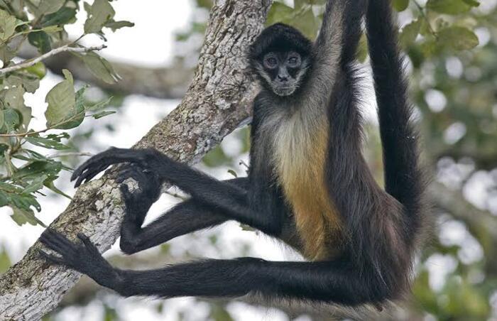 En la Chinantla, detectan más de 200 ejemplares de Mono Araña