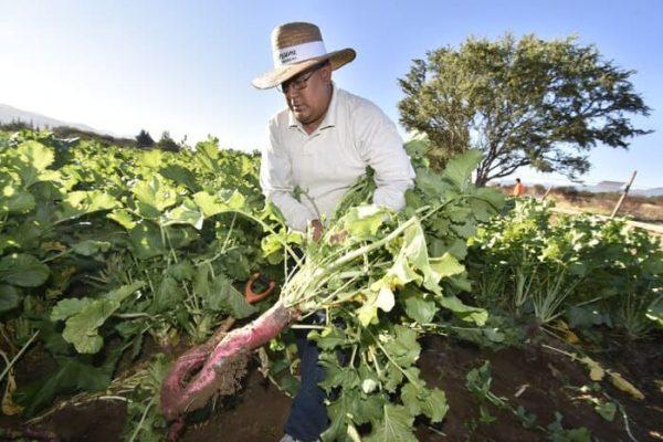 Realizan la tradicional cosecha para la Noche de Rábanos