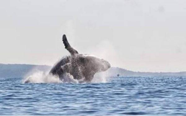 Inicia temporada de avistamiento de ballenas en playas de Oaxaca
