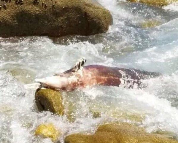 Hallan un delfín muerto en Puerto Escondido