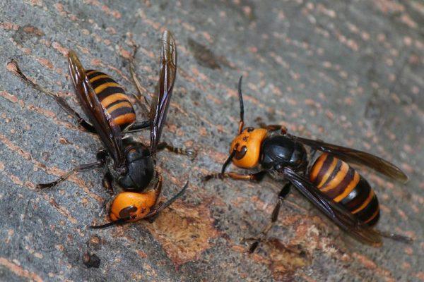 En EU científicos se enfrentan a la llegada de un insecto capaz de matar personas y abejas