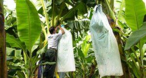 Plantea Irineo Molina incluir a productores de plátano al programa Bienestar