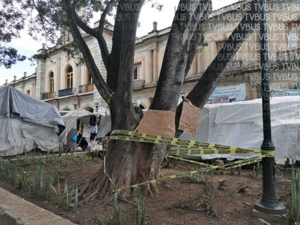 Ambientalistas cercan árbol de laurel en el zócalo; piden plan de conservación