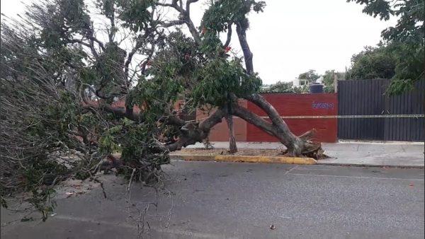 Viento derriba dos árboles en la ciudad de Oaxaca