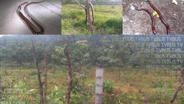 Alarma en colonia de Valle Nacional por avistamiento de víboras en calles y viviendas