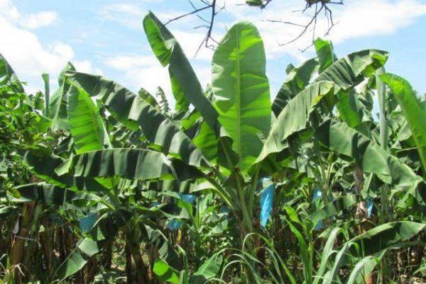 Cerca de 500 hectáreas de plátano en Tuxtepec, afectadas en 2020
