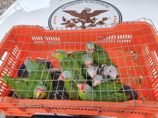 Guardia Nacional rescata 10 loros cabeza roja en estado de hacinamiento en Oaxaca