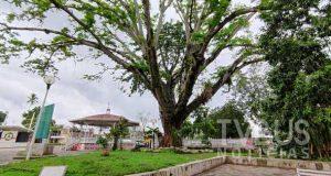 Nacaxtle, el frondoso árbol del parque Juárez de Tuxtepec, muere lentamente
