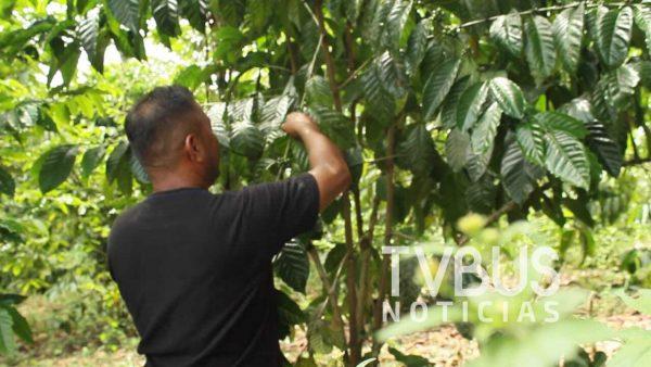 Chinantecos al rescate del café en la Cuenca de Oaxaca