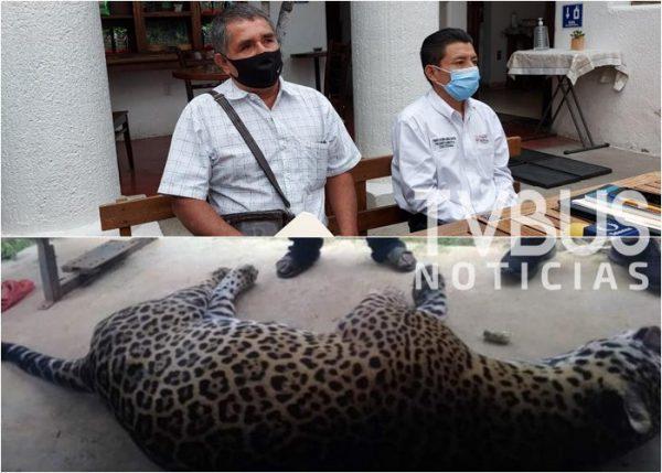 El jaguar fue envenenado en Ozolotepec, no en San Mateo Piñas: Edil