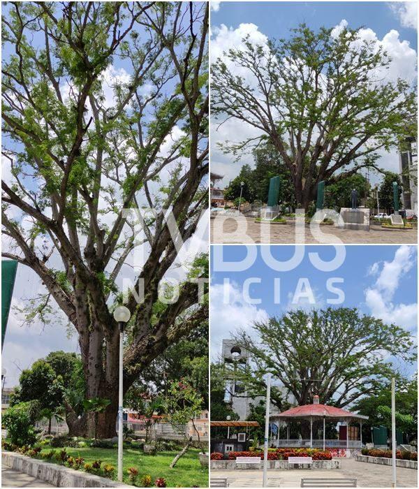 Reverdece árbol de Nacaxtle ante primer tratamiento de rehabilitación