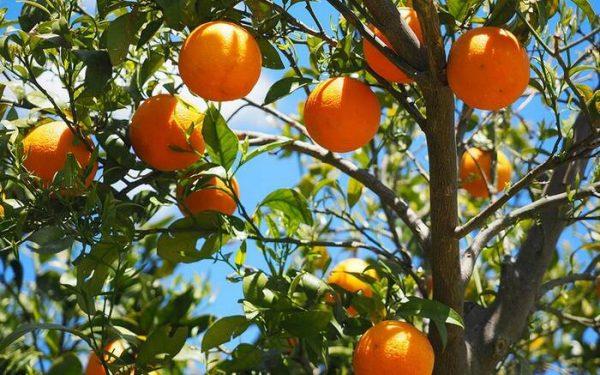 Dirección de Medio Ambiente de Tuxtepec, llama a productores de campo a donación de árboles frutales