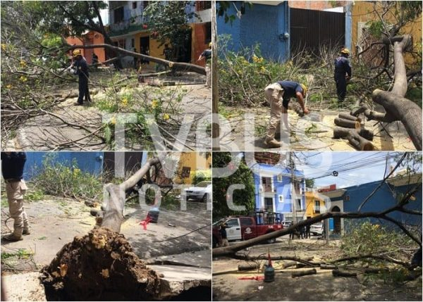 Cae otro árbol en el centro de Oaxaca, autoridades no atendieron el llamado denunciaron vecinos