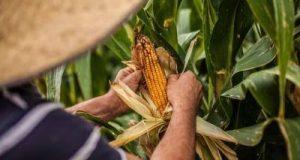 Abren créditos para productores de maíz de Oaxaca